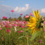 名もなきコスモス畑、ひまわりの丘公園の秋の向日葵@兵庫県小野