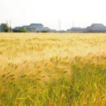 麦畑が黄金色に輝きはじめるとき