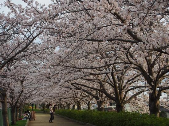 仕事の後にバンバンで出動!いなみ野水辺の里公園へ桜を見に行く