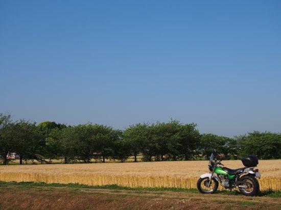 キラッキラの麦畑へ!夕方からのツーリング@兵庫
