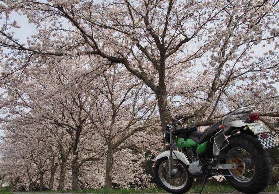 バンバンと桜とおばあちゃん