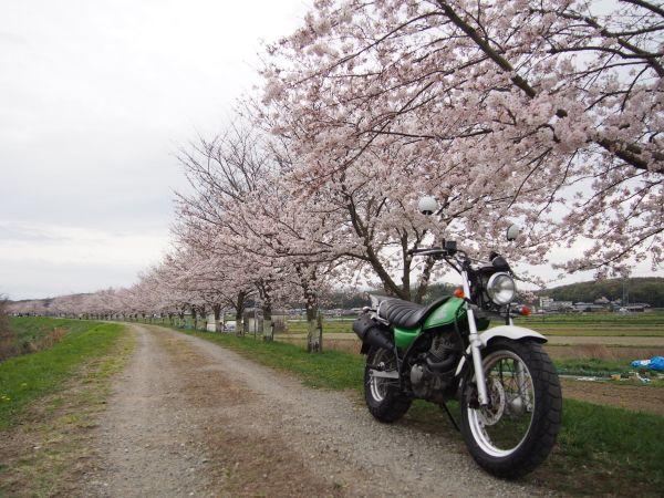 土手沿いに綺麗に咲いていた