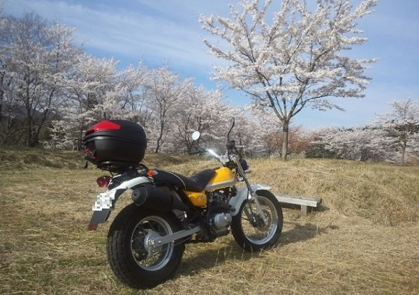 バンバンと満開の桜@兵庫・亀さん