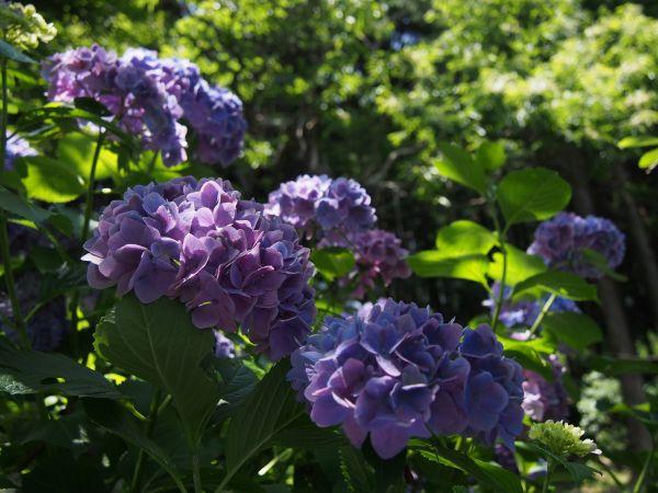 まるっこい紫陽花