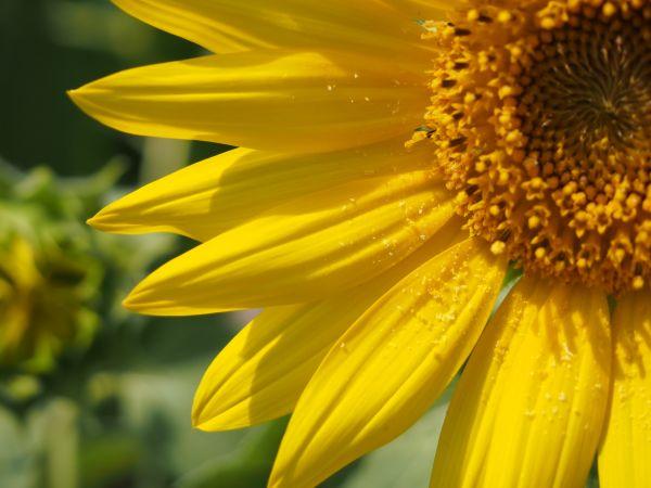 ひまわりの花粉