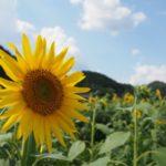 丹波市にもひまわり畑があるよ、ひまわり柚遊農園@兵庫【バンバン200】