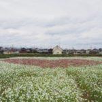 【ハートの畑?!】今が見頃の稲美町のコスモス畑と丹波の黒枝豆@兵庫【バンバンズ200】
