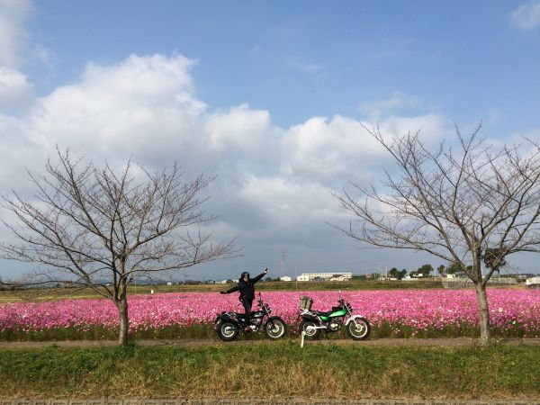 稲美町のコスモス畑