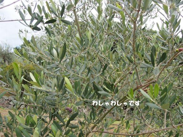 オリーブの木の中からハートの葉さがし