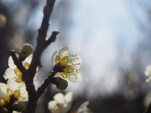 【見頃近し!】遊べるw石ケ谷公園の梅園へ春の訪れを感じに@兵庫県明石