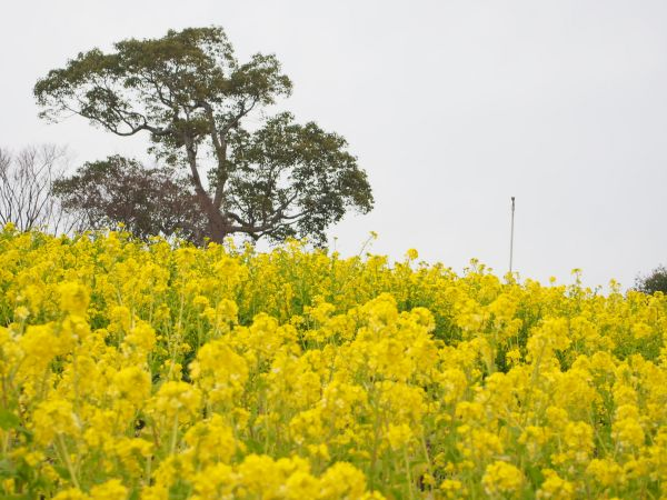 菜の花はコスモスの丘