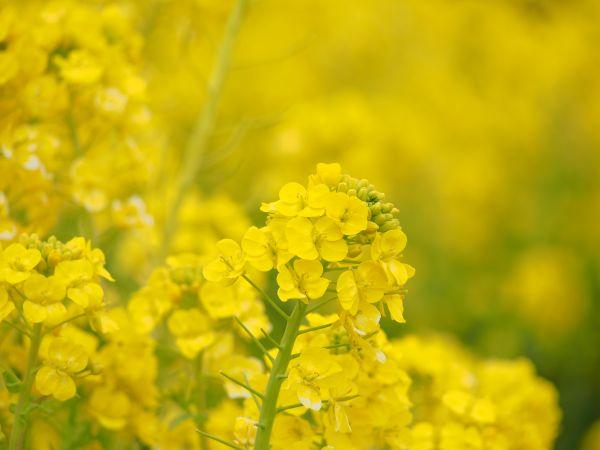 満開!斜面に咲く菜の花畑【神戸総合運動公園】@兵庫県神戸
