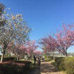 【八重桜の並木道】やなせ苑桜づつみ回廊@兵庫県小野