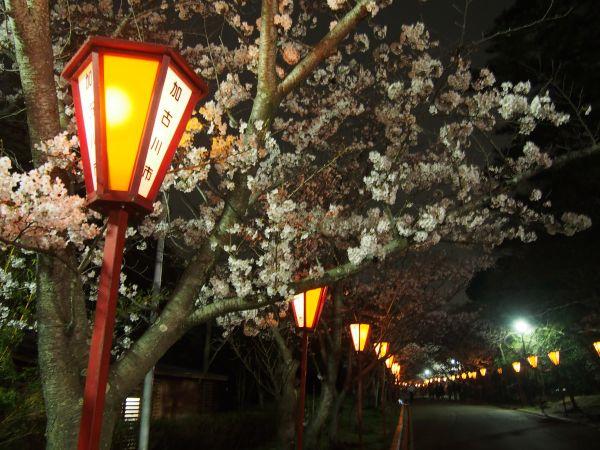 夜桜のライトアップあり