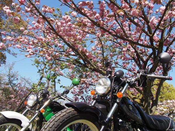 八重桜と記念撮影