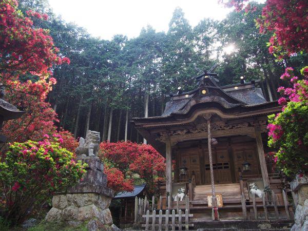 【春の花は桜だけじゃない!】一の宮神社の紅のキリシマツツジ、白毫寺の藤棚@兵庫県丹波