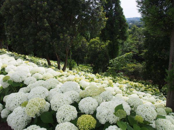 兵庫県内に咲く、あじさいの見頃っていつなのか?まとめてみた【2017】